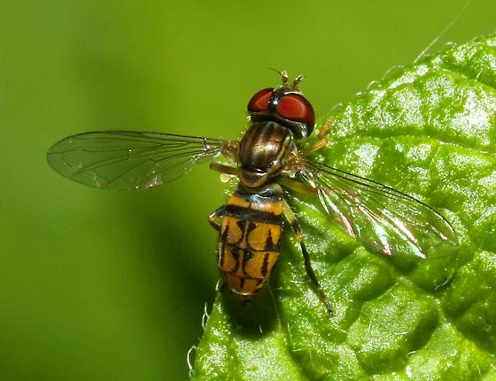 unidentified Syrphidae - Toxomerus geminatus