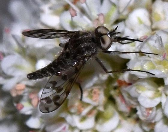 Small Bee Fly - Geminaria canalis - male