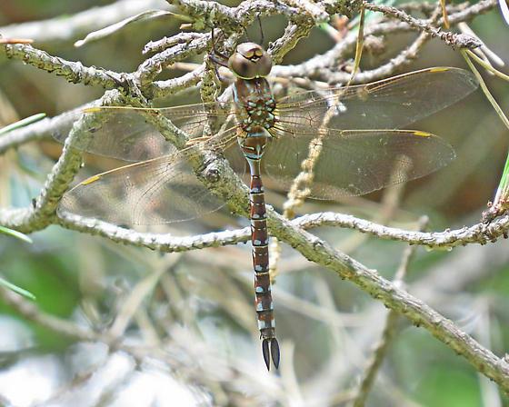 darnersmall - Aeshna constricta - female