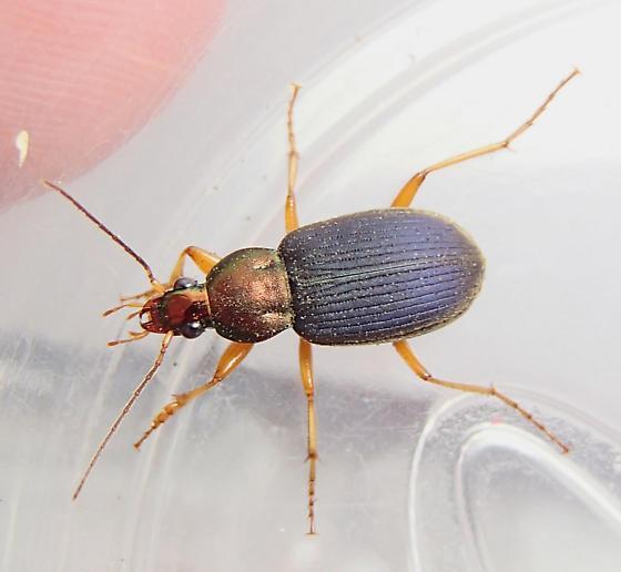 subgenus Chlaeniellus - Chlaenius tricolor
