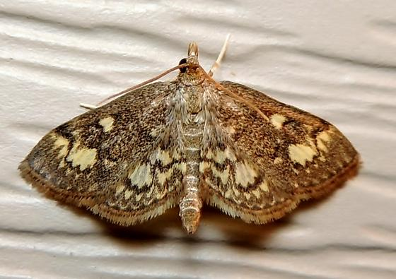 Crowned Phlyctaenia - Hodges#4953 for April - Anania plectilis