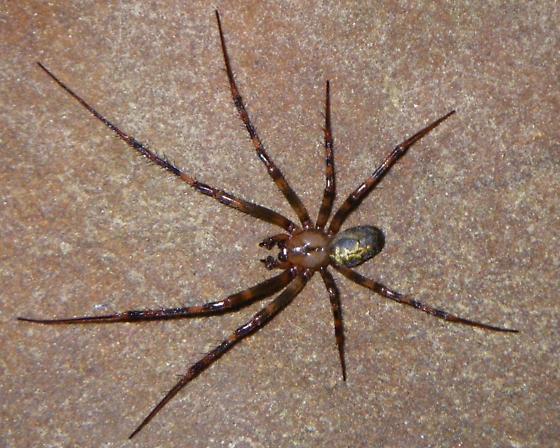 Buzzard Cave Spider - Meta ovalis