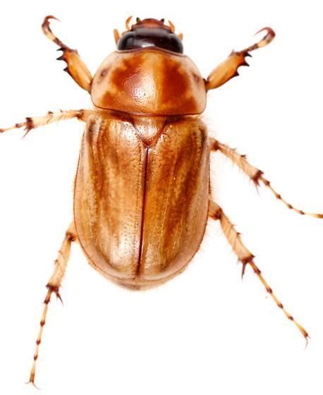 Cyclocephala lunulata? - Cyclocephala