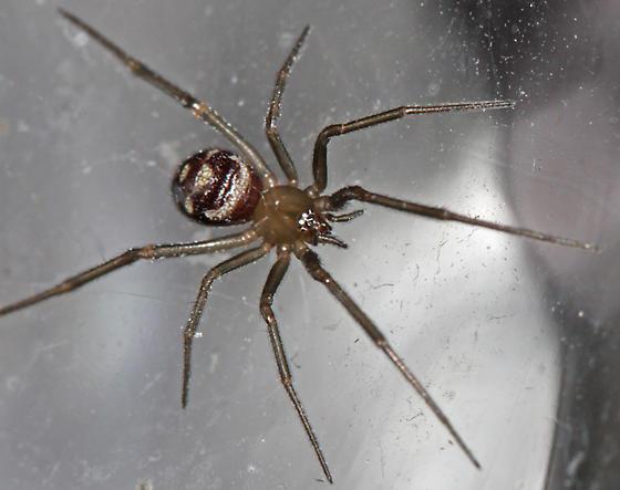 Cobweb Spider - Steatoda grossa