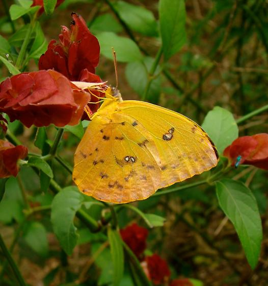 Phoebis argante - Phoebis philea