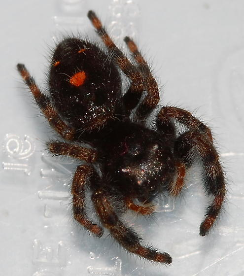 Black jumping spider with red dot - photo#1