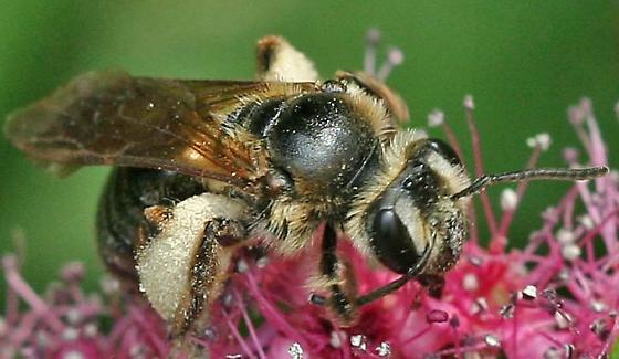 Bee26a - Andrena crataegi
