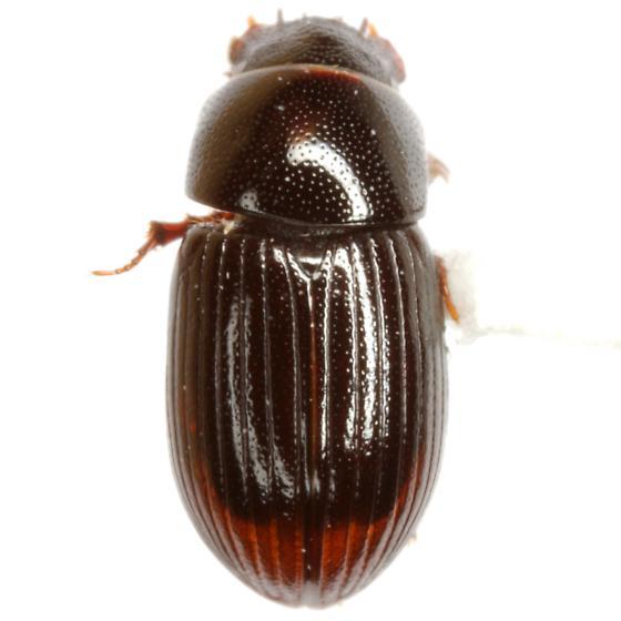 Aphodius (Oscarinus) bottimeri Cartwright - Oscarinus bottimeri