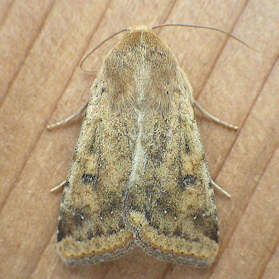 Noctuidae: Helicoverpa zea - Helicoverpa zea
