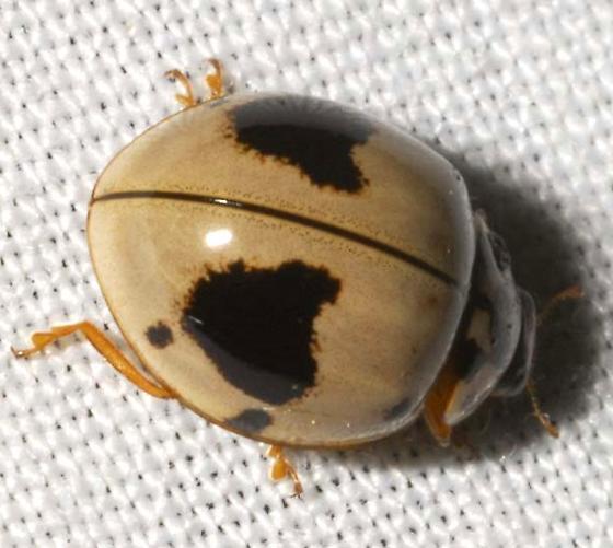 Ashy Gray Ladybird Beetle - Olla v-nigrum
