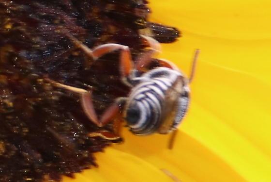 Coelioxys bee? - Coelioxys