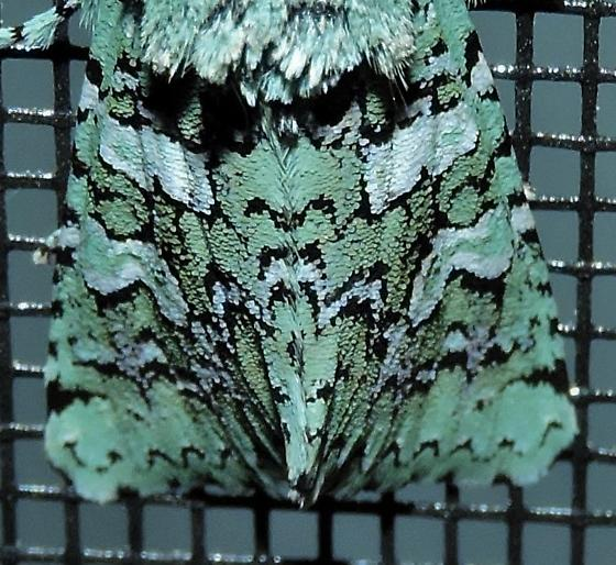 Green ghost moth - Feralia februalis