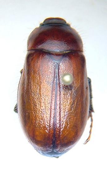 Phyllophaga futilis - female