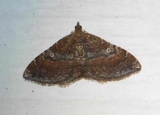 Moth #1 - Orthonama obstipata - female