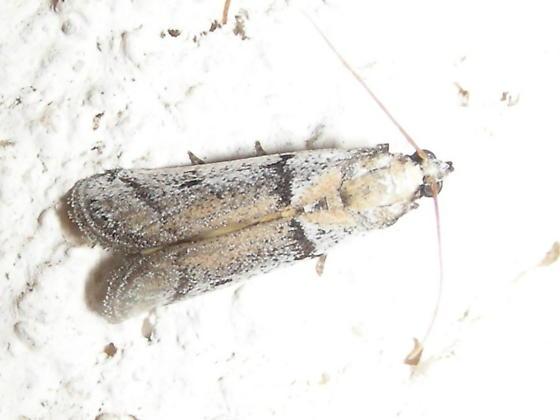Moth #08-231 - Anderida sonorella