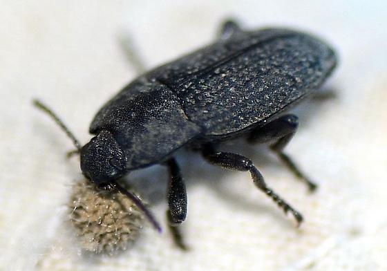 Tenebrionidae? - Alaetrinus minimus