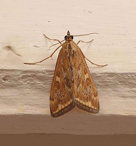 Bathroom Moth 3 - Loxostege