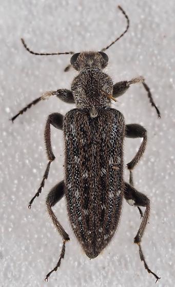 Anthicidae Eurygeniinae - Retocomus wildii