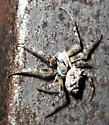 unid. orb weaver - Acanthepeira stellata - male