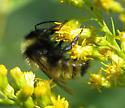 Bumble Bee - Bombus insularis - male