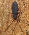 Sylvanid Flat Bark Beetle - Uleiota sp? - Uleiota