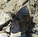 Duskywing of some type - Erynnis brizo