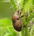 Bug... - Orsilochides guttata