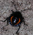 Stink Bug nymph of some sort? - Augocoris illustris