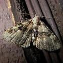 Moth 8-12 - Metalectra