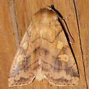 Moth 830-06 - Enargia decolor