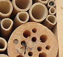 wasp in bee house (three pictured here) - Trypoxylon