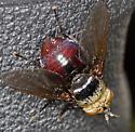 Large Fly - Archytas metallicus