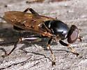 Compost Syrphidae - Chalcosyrphus nemorum - male