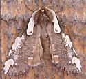 Dogwood Thyatirid Moth - Euthyatira pudens
