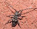 Longhorned Beetle - Tigrinestola tigrina