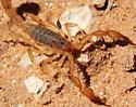 Scorpion  - Chihuahuanus coahuilae