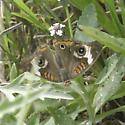 Junonia coenia - male