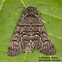 Panthea sp. - Panthea gigantea