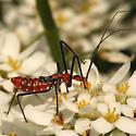 Milkweed Assassin Bug Nymphs - Zelus longipes