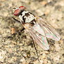 Anthomyia - Anthomyia procellaris - male
