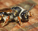 Unknown Bee - Andrena prunorum