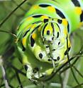 Eastern Black Swallowtail - Papilio polyxenes