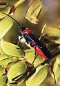 Braconid Wasp - Atanycolus - female
