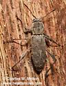 Cerambycid - Neoclytus irroratus