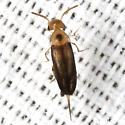 Beetle - Mordellistena