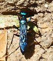 Thread-Waisted Wasp - Chlorion aerarium
