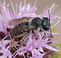 Megachile montivaga - female