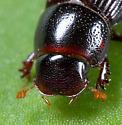 Coleoptera - Ataenius platensis