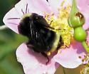 Yellow-circled Bee - Bombus vosnesenskii