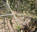Palo Verde Webworm tubes - Faculta inaequalis
